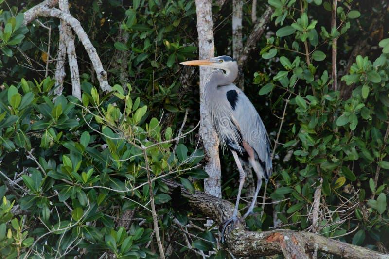 Garza de gran azul en los marismas de la Florida fotos de archivo