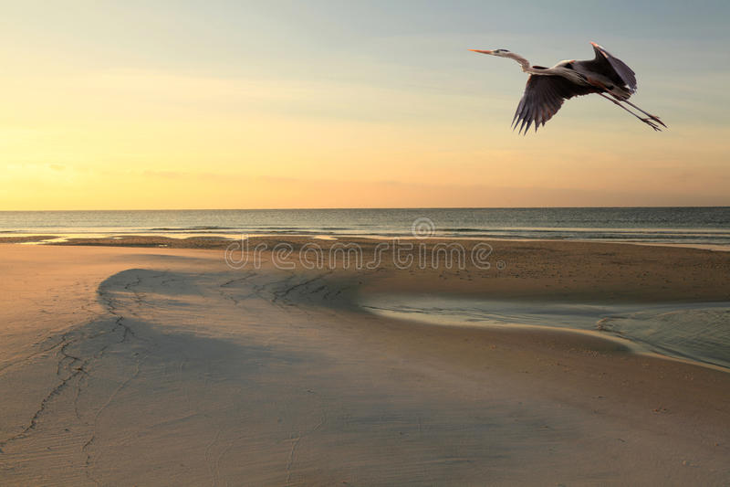 Garza de gran azul Flys sobre la playa en la salida del sol fotos de archivo