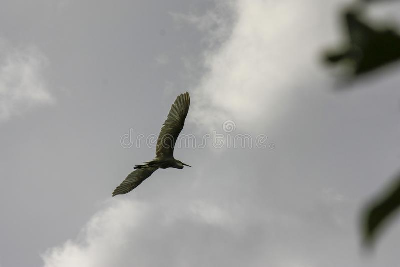 Garza de noche coronada negra en vuelo debajo de un nycticorax gris del Nycticorax del cielo nublado fotos de archivo libres de regalías