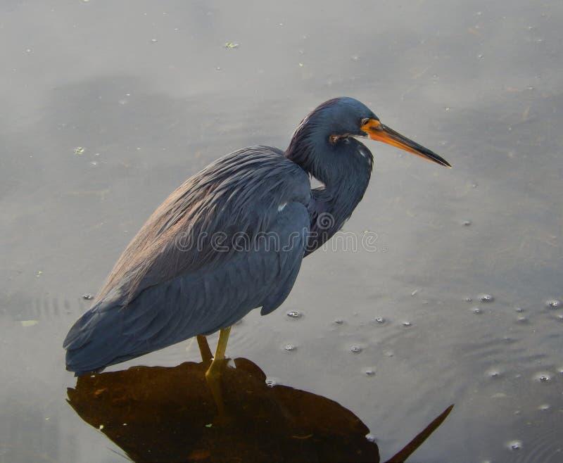 Download Garza De Tricolored (Egretta Tricolor) Foto de archivo - Imagen de wetland, charca: 42433110