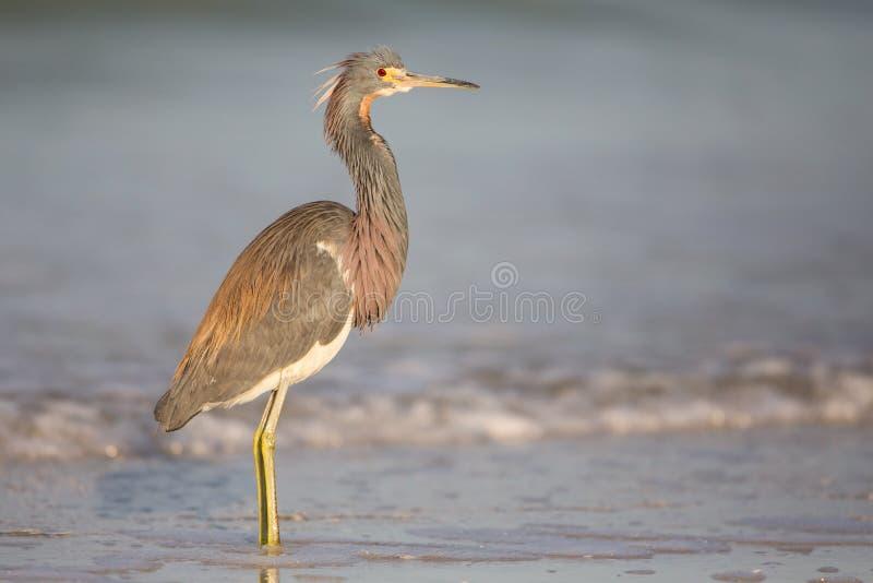 Garza de Tricolored en la línea de la playa en la laguna de Estero fotos de archivo