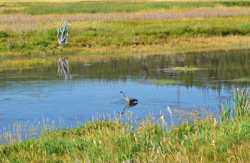 Garza en el río Yellowstone imagen de archivo