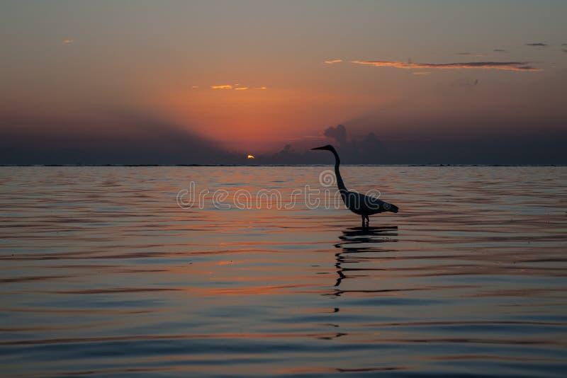 Garza en la salida del sol en el mar del Caribe fotografía de archivo libre de regalías