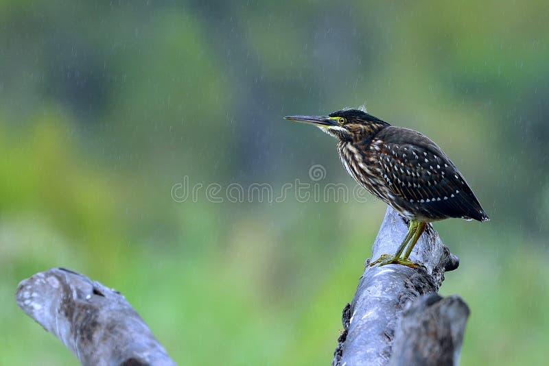 Garza estriada (striata de Butorides) en lluvia fotografía de archivo libre de regalías