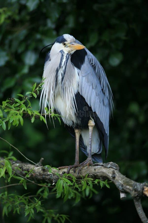 Download Garza gris. foto de archivo. Imagen de plumes, herons - 7288968
