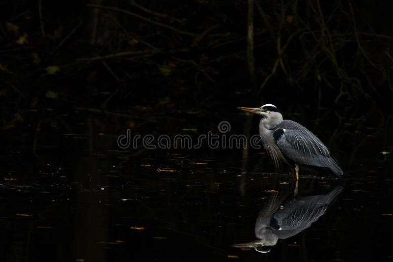 Garza gris que espera un pescado fotografía de archivo libre de regalías