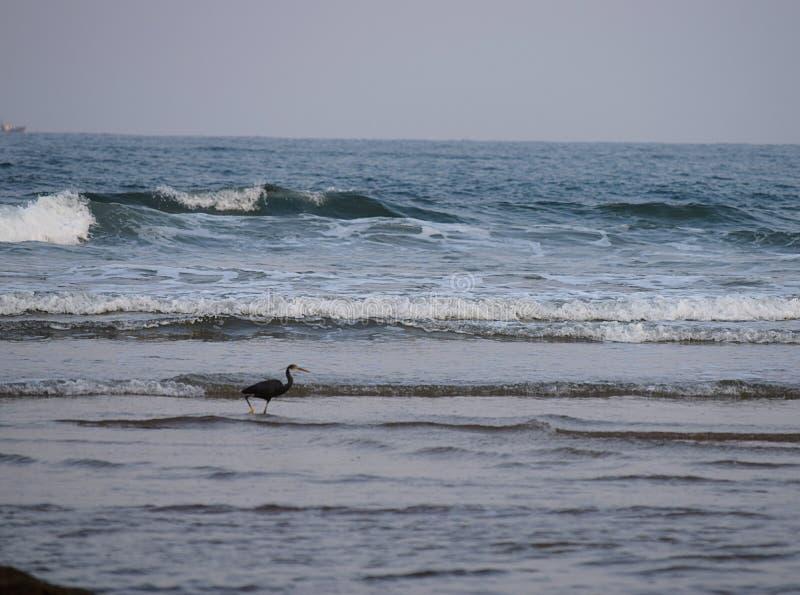 Garza occidental del filón - Egretta Fularis - que se coloca en agua de mar imagen de archivo