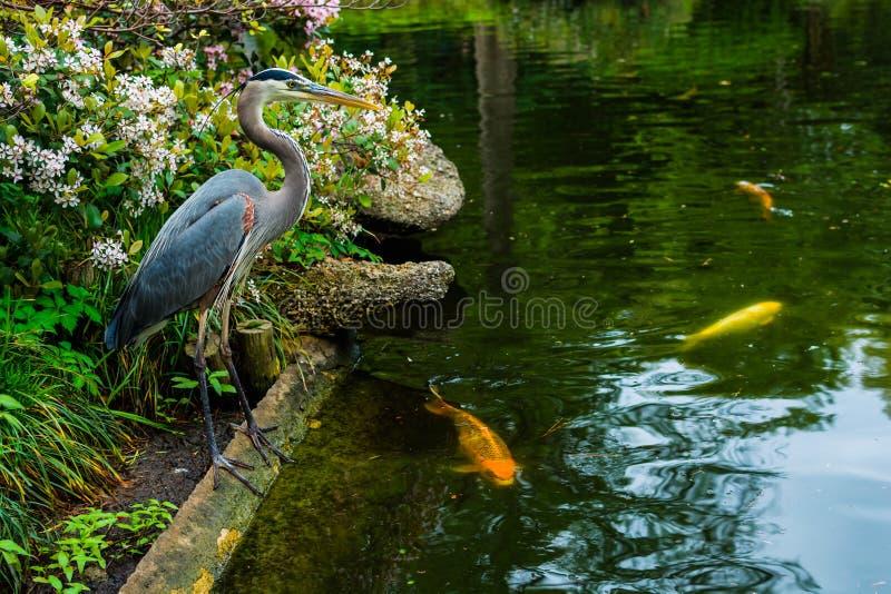 Garza y koi en el estanque de peces japon s imagen de for Estanque para koi