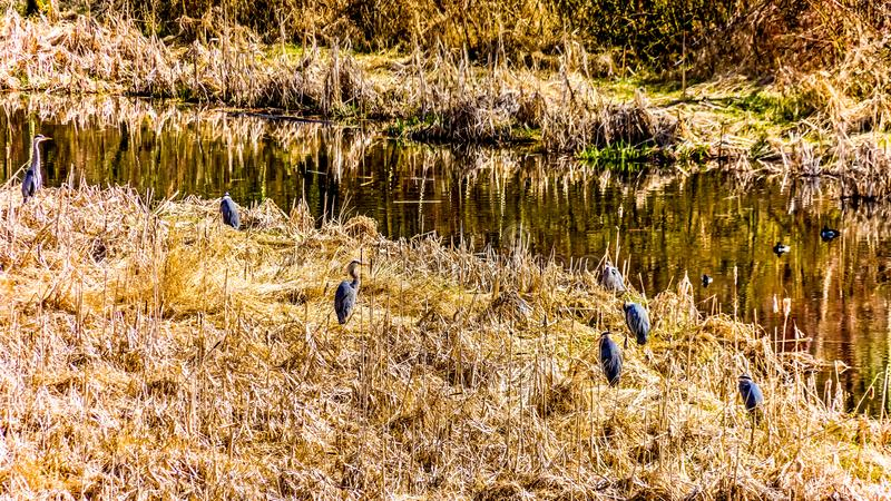 Garzas de gran azul en las cañas cerca de Chilliwack adentro A.C., Canadá imágenes de archivo libres de regalías