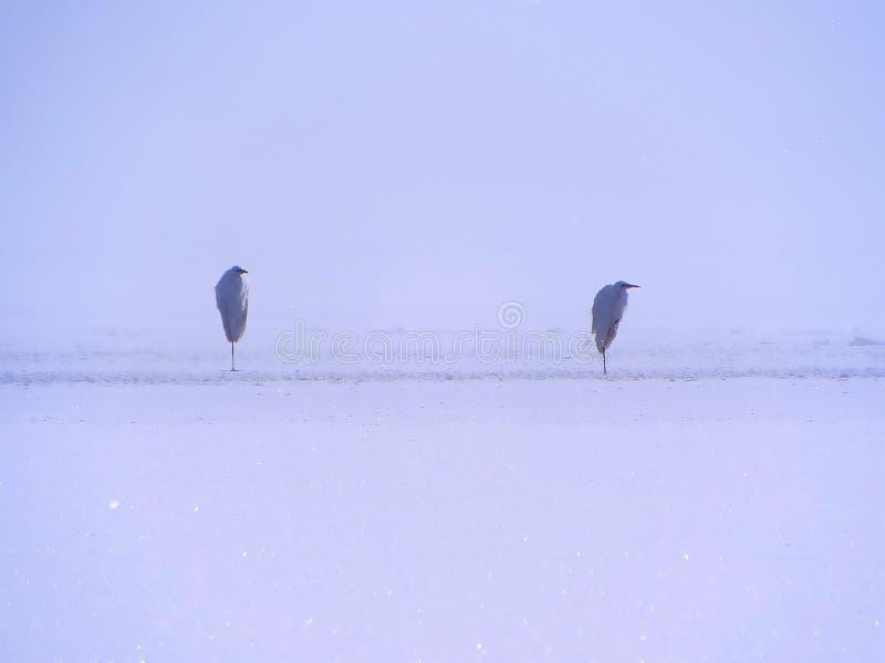 Garzas en el hielo foto de archivo