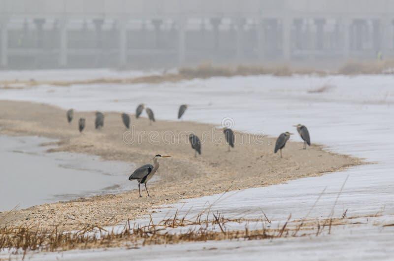 Garzas en la orilla de mar del mar Báltico fotografía de archivo