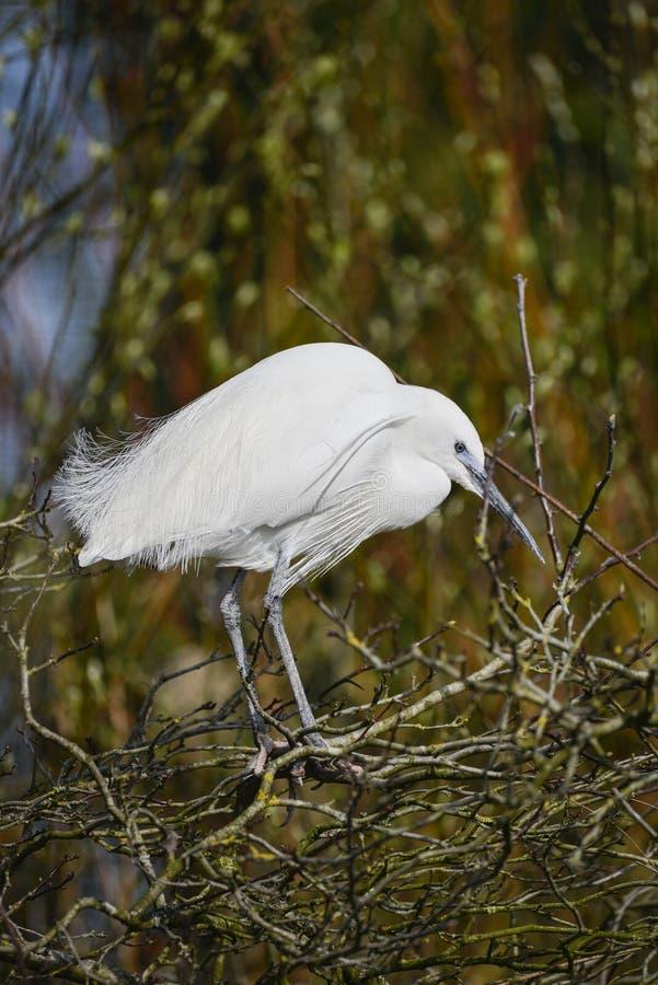 Garzetta bonito do gretta do pássaro do Egret pequeno no riverbank na mola imagens de stock royalty free