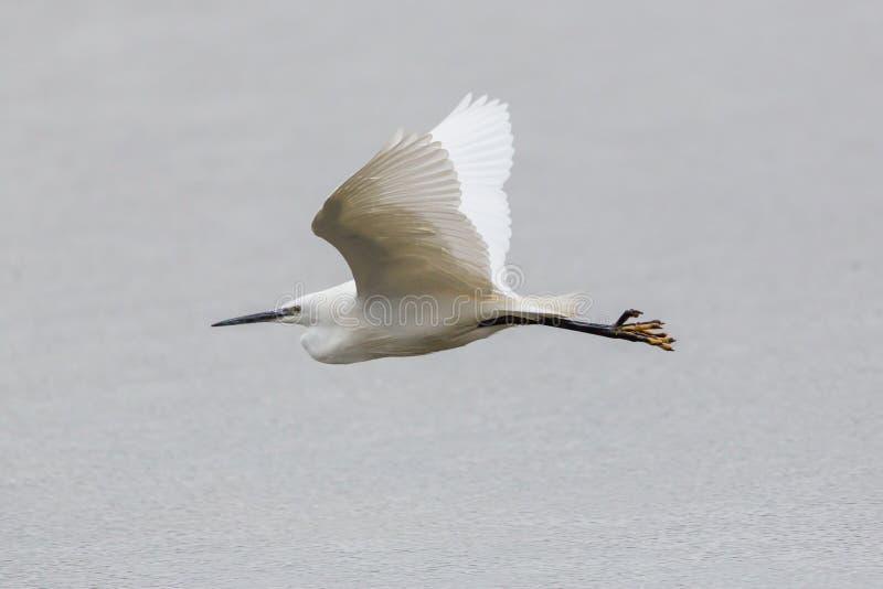 Garzetta do egretta do egret pequeno do retrato que voa sobre o surfa da água imagens de stock royalty free