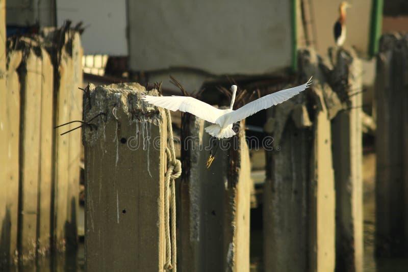Garzetta Egretta в природе летает стоковое изображение rf