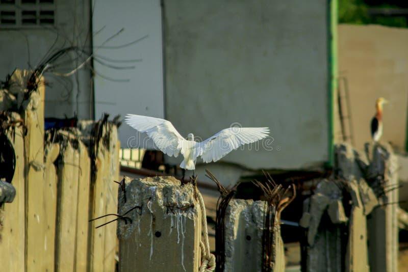 Garzetta Egretta в природе летает стоковое изображение