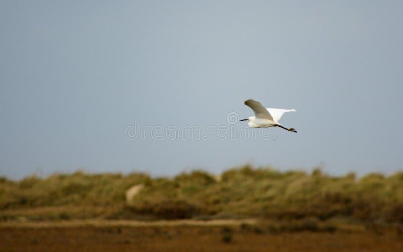 Garzetta Egretta или маленький Egret стоковая фотография rf
