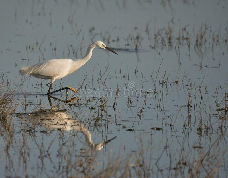 Garzetta Egretta или малый egret и его отражение охотясь для его prade стоковое изображение