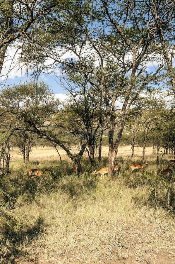 Gaseller i ängar av Tanzania arkivbild