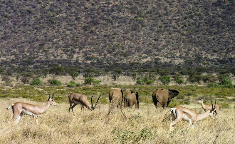 Gaseller och elefanter som strosar till och med Samburu grässlättar royaltyfri bild
