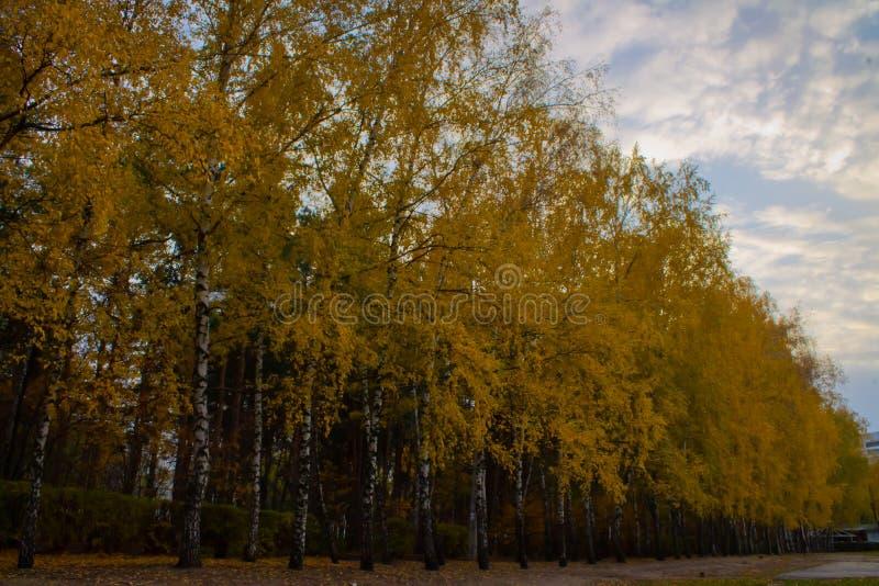 Gasse von Birken mit gelb gefärbtem Laub stockfotografie
