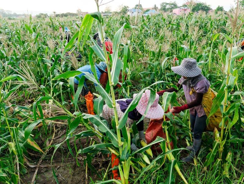 Gastarbeiders Birmaanse Myanmar of van Birma Huur om suikermaïs te oogsten stock afbeelding
