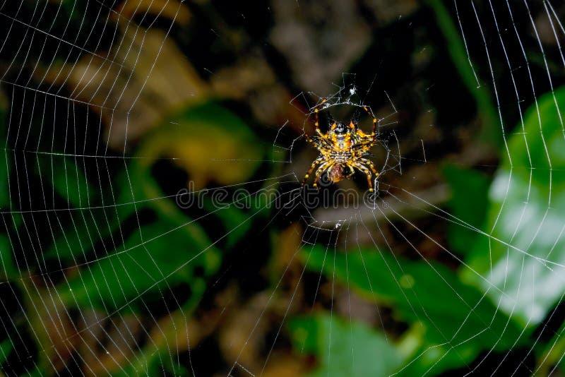 Gasteracantha hasseltii的腹部边与黄色后面刺逗留的在蜘蛛网和深绿背景在森林里 免版税库存图片