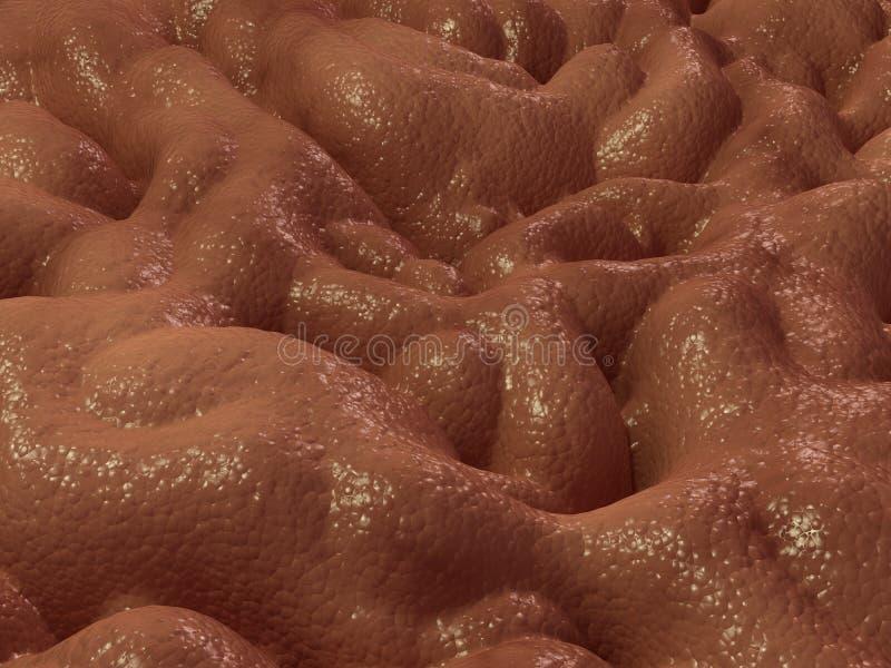 Gastric mucosa vector illustration