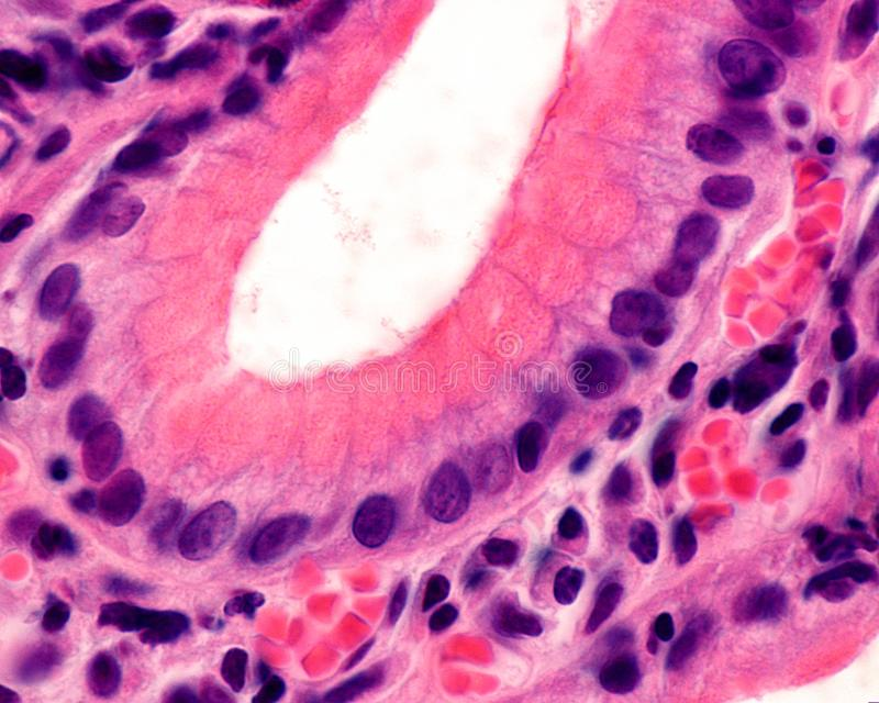 Gastric pit. Foveolar cells. Bottom of a gastric pit lined by the surface epithelium of the stomach, formed by mucous-secreting cells called foveolar cells royalty free stock photo