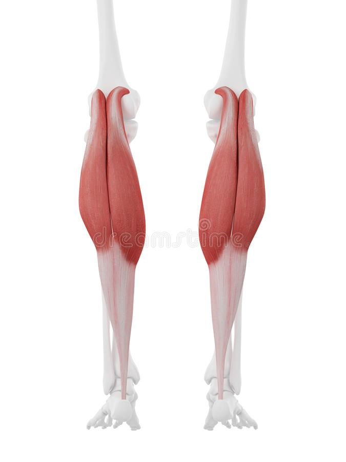 The Gastrocnemius. 3d rendered medically accurate illustration of the Gastrocnemius vector illustration