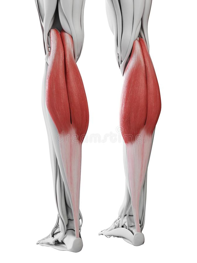 The gastrocnemius. 3d rendered medically accurate illustration of the gastrocnemius royalty free illustration