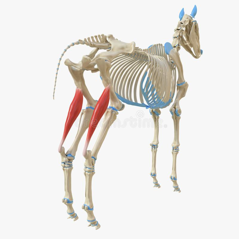 Gastrocnemius. 3d rendered medically accurate illustration of the equine muscle anatomy - Gastrocnemius vector illustration
