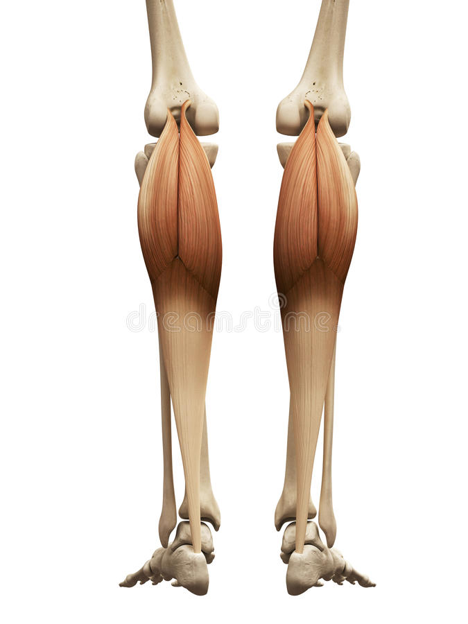 The gastrocnemius. Human muscle anatomy - the gastrocnemius stock illustration