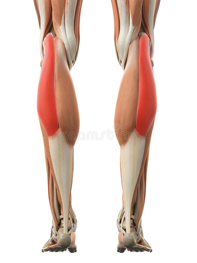 The gastrocnemius lateral head. Medically accurate illustration of the gastrocnemius lateral head royalty free illustration