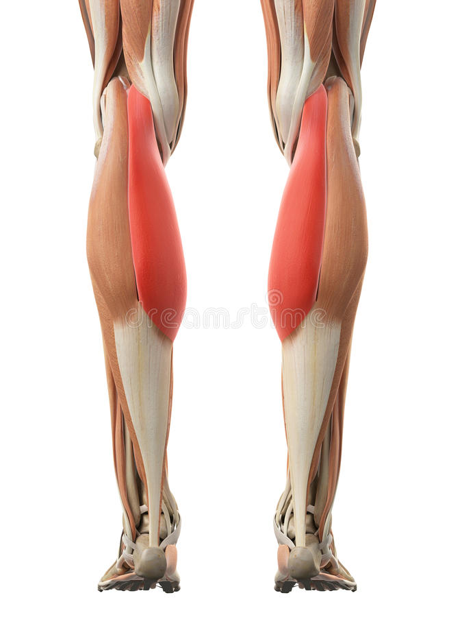 The gastrocnemius medial head. Medically accurate illustration of the gastrocnemius medial head royalty free illustration