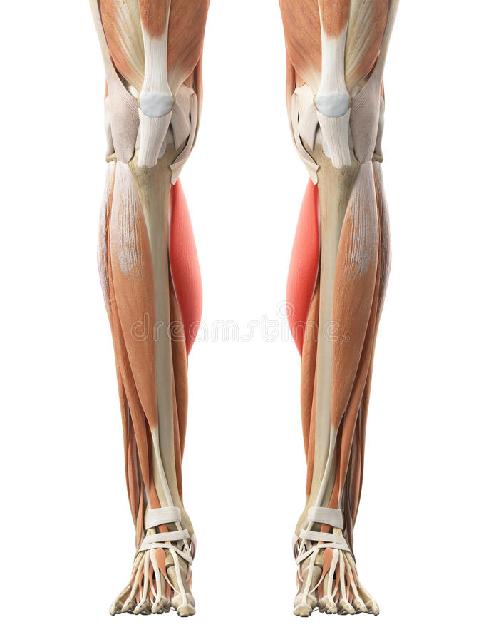 The Gastrocnemius Medial Head Stock Illustration - Illustration of ...