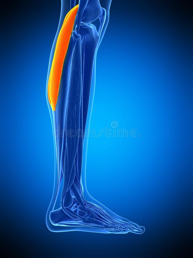 The gastrocnemius. Medically accurate illustration of the gastrocnemius vector illustration