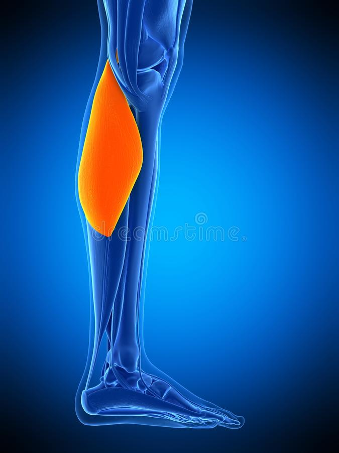 The gastrocnemius. Medically accurate illustration of the gastrocnemius stock illustration