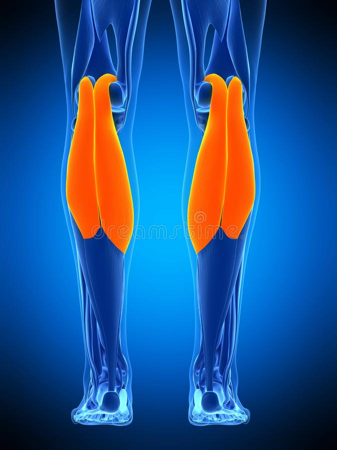 The gastrocnemius. Medically accurate illustration of the gastrocnemius royalty free illustration