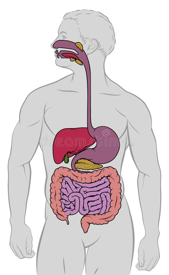 Gastrointestinal Digestive Tract Anatomy Diagram Stock Vector