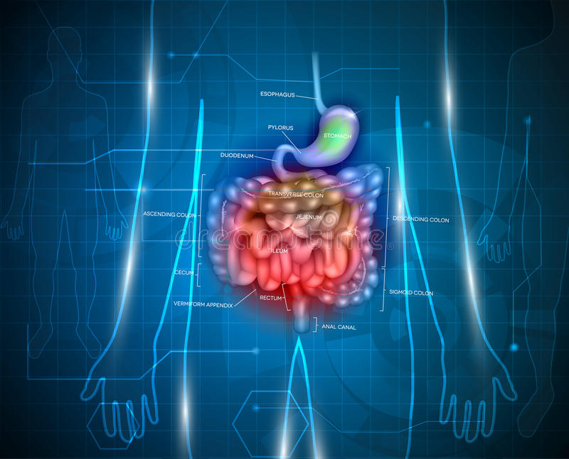 Gastrointestinal system. Gastrointestinal tract. Stomach, small intestine and colon, abstract blue technology background with lights and human silhouette stock illustration
