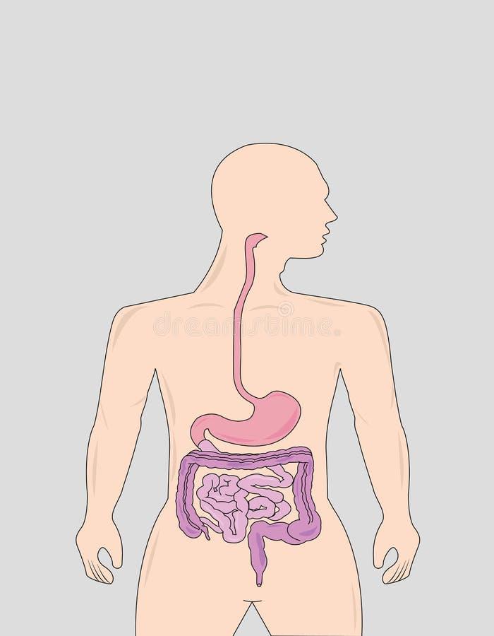 Gastrointestinal vector illustration
