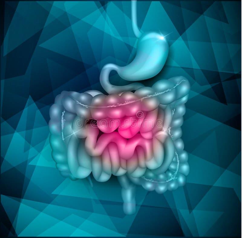 Gastrointestinal tract. Stomach, small intestine and colon. Beautiful bright illustration stock illustration