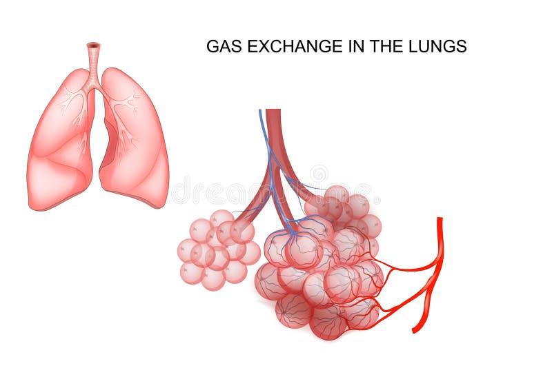 Gasuitwisseling in de longen royalty-vrije illustratie