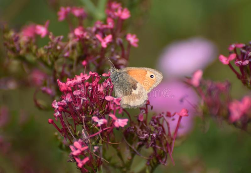 Gate Keeper / Hedge Brown Butterfly Pyronia tithonus. Gatekeeper butterfly on pink verbena flowers in Summer in the UK stock photos