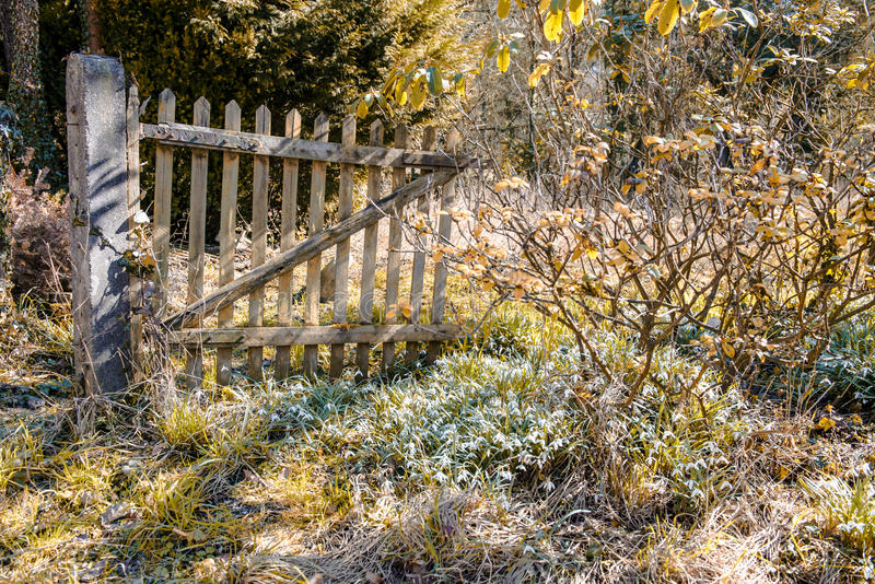 Abandoned garden with flowering snowdrops in spring royalty free stock image