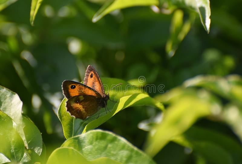 Gatekeeper Butterfly also called Hedge Brown Butterfly Pyronia tithonus. A Gatekeeper or Hedge Brown Butterfly on green leaves in the UK in July stock photography