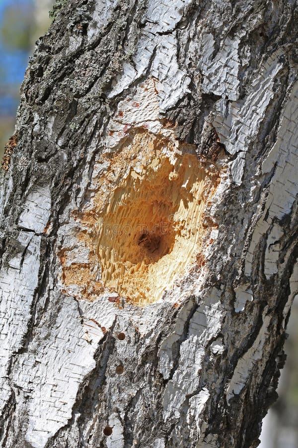 Gaten in de boomstam van de vogel van de Berkspecht stock afbeelding