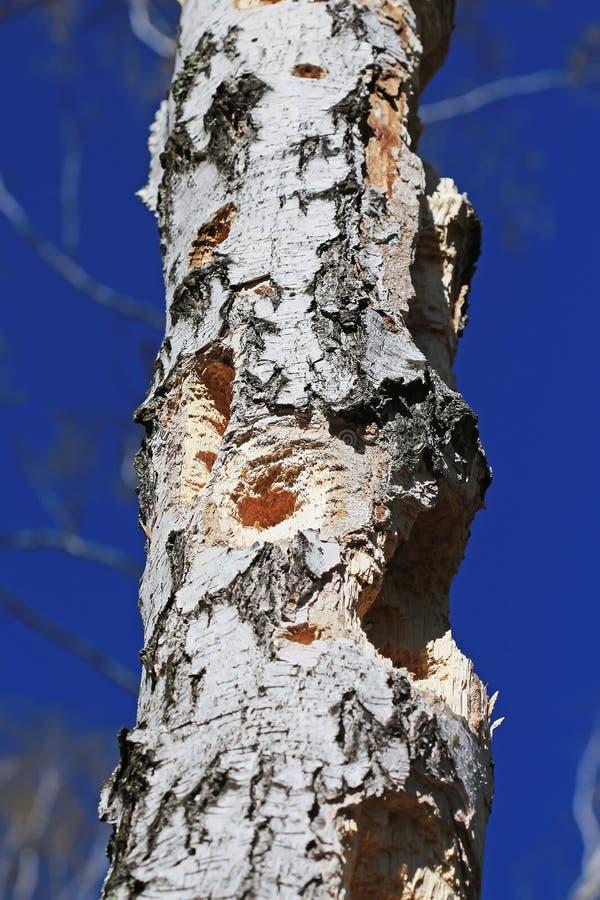 Gaten in de boomstam van de vogel van de Berkspecht stock foto's