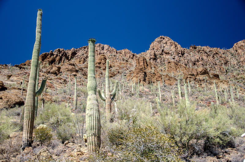 Gates Pass Tucson Arizona Saguaro Cactus. Gates Pass Trail Tucson Arizona with Saguaro Cactus and Choya Jumping Cactus and Barrel cactus royalty free stock image