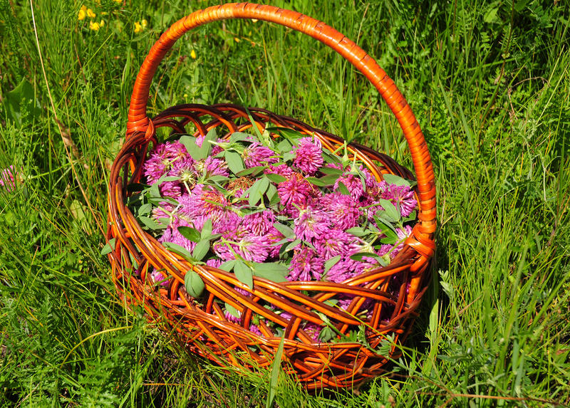 Gather Herbs. Herbal Plants. Trifolium pratense, the red clover flowers. Red clover is commonly used to make a sweet-tasting herbal tea stock images